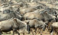 Serengeti by Peter Howard