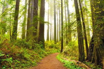 Redwood by Frederik Dawson