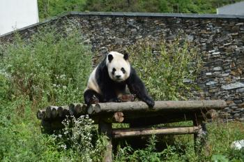 Sichuan Giant Panda Sanctuaries by Michael Novins