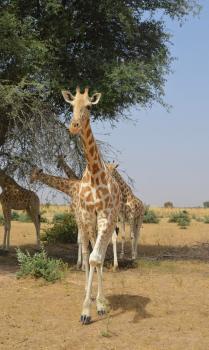 Zone Giraphe (T) by Michael Novins