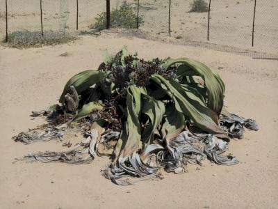 Welwitschia Plains (T) by Zoë Sheng
