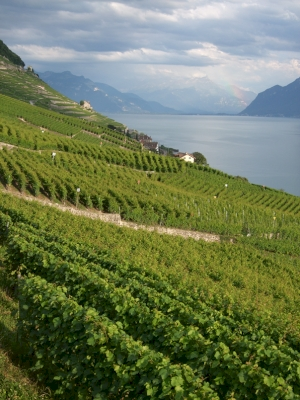 Lavaux, Vineyard Terraces by Matejicek