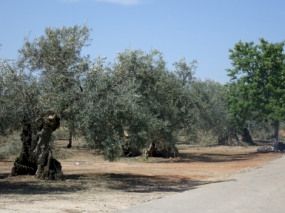 The Olive Grove Landscapes of Andalusia (T) by Els Slots