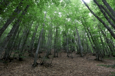 Primeval Beech Forests